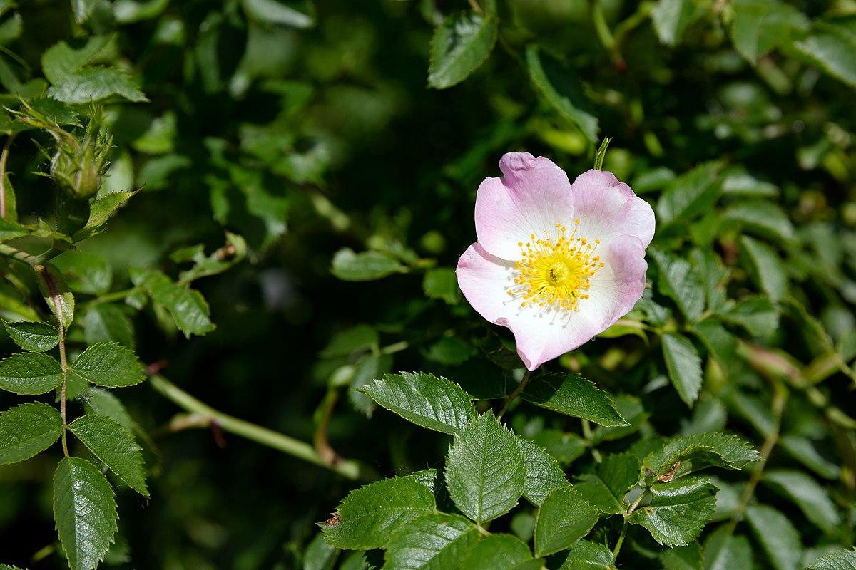 Rosa Canina Wikispecies