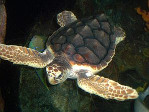 A loggerhead sea turtle in the National Aquari...
