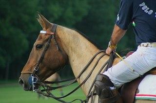 Polo horse clipped