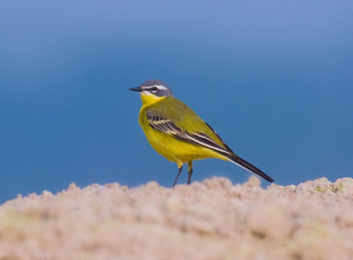 Yellow wagtail.jpg