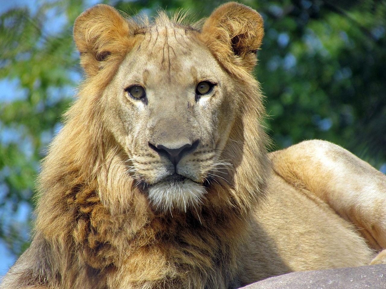 FileAfrican Lion Seneca Park ZooJPG Wikimedia Commons
