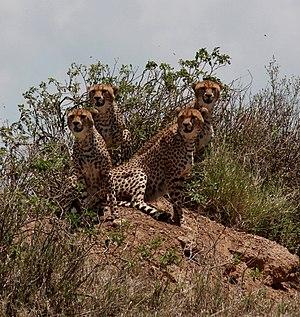English: Four cheetahs at the Serengeti Nation...