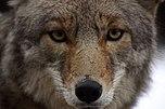 Porträtaufnahme eines Koyoten