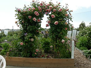 Roses along a trellis, Interbay P-Patch (commu...