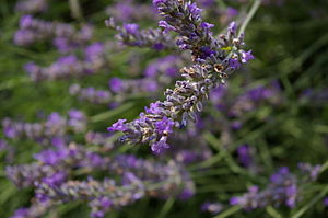 A close-up of some lavender in the Netherlands