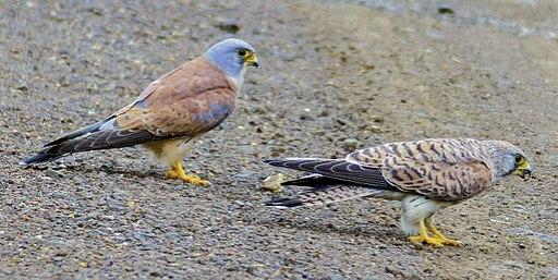 Lesser Kestrel (Falco naumanni) couple (12819743614)