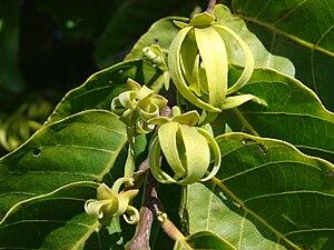 English: Cananga odorata (flowers). Location: ...