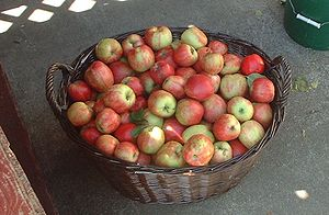 English: Basket of fresh picked Gravenstein ap...