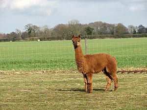 Brown alpaca - geograph.org.uk - 740556