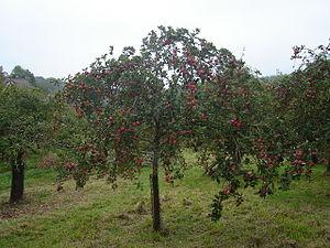Cider Orchard. cider apple tree just before ha...
