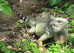 English: Iguana iguana Photo taken at the Zoo ...