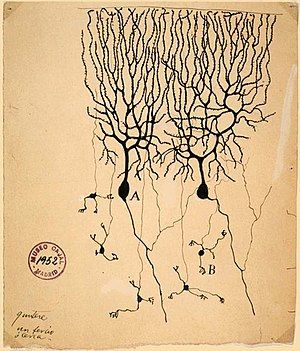 Drawing of Purkinje cells (A) and granule cell...