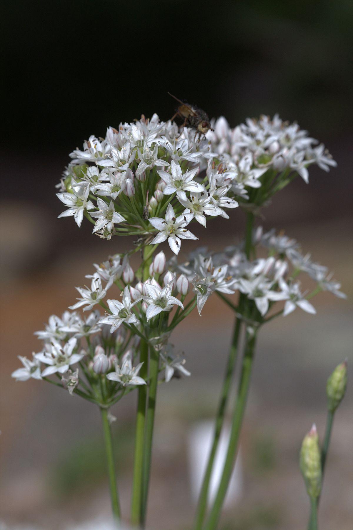 Allium Barsczewskii Wikipedia