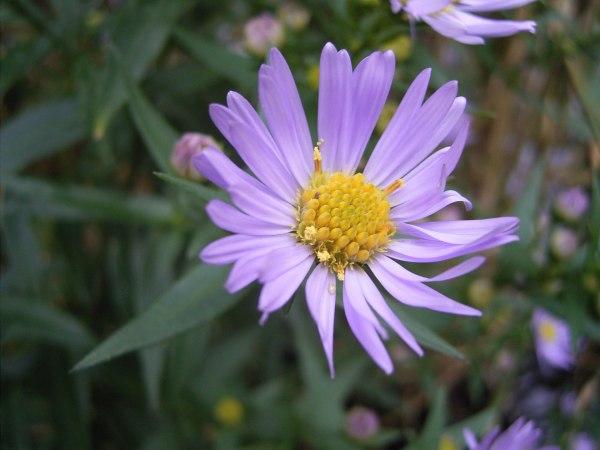 Symphyotrichum novi-belgii - Wikipedia