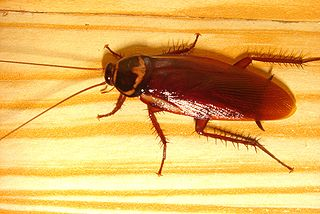 By 邰秉宥 from Changhua, Taiwan (Cockroach) [CC-BY-SA-2.0 (http://creativecommons.org/licenses/by-sa/2.0)], via Wikimedia Commons