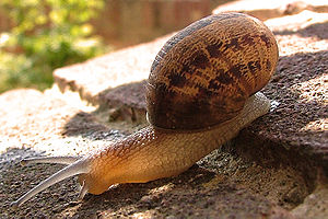 Garden Snail Hampshire UK Helix aspersa, deter...
