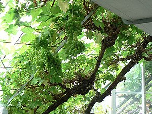 English: Grapes on the vine A fruitful vine gr...