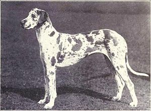 Great Dane from 1915