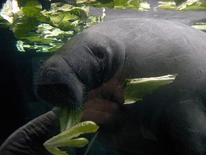 English: manatee Français : lamantin