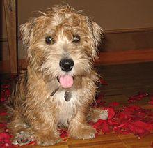 Sporting Lucas Terrier Wikipedia