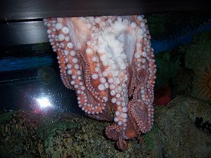 An octopus escaping an aquarium through a thin...