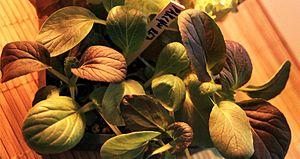 English: Baby leaf Red Pak Choi.
