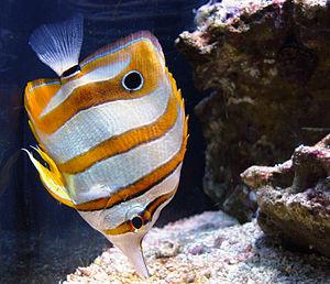 English: Chelmon rostratus pictured at the Sea...