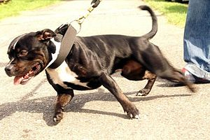 Photo of Staffordshire Bull Terrier - Bull Hun...
