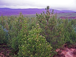 English: Tree tops A built-up forestry road pr...