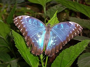 English: A Butterfly Taken at Tropical Wings i...