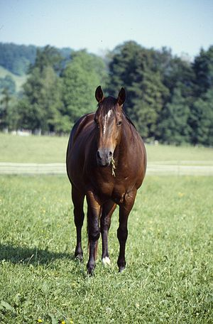 A stock type horse suitable for cattle work