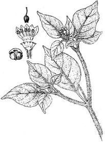 Capsicum galapagoense brachistus pubescens schuyler mathews