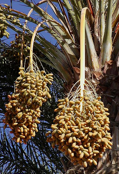 https://i1.wp.com/upload.wikimedia.org/wikipedia/commons/thumb/1/17/Dates_on_date_palm.jpg/411px-Dates_on_date_palm.jpg
