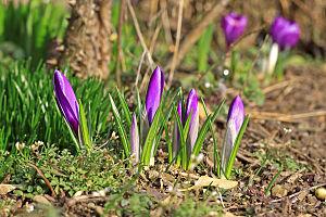 purple crocuses with closed bloom Français : D...
