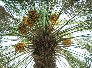 Date palm with fruits at the Abdul Aziz Date F...
