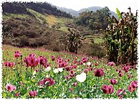 A field of opium poppies in Burma.