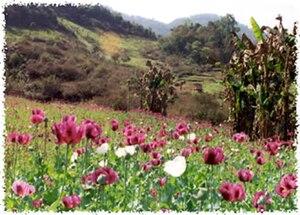 A field of opium poppies in Burma.