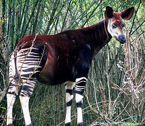 An Okapi. Taken at Disney's Animal Kingdom by ...