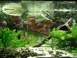 Underwater scene, with white sand at bottom and a large piece of driftwood at the right. Various green plants grow in the sand, including a large plant with wavy leaves at the left. A shoal of blue and red striped fish swims around.