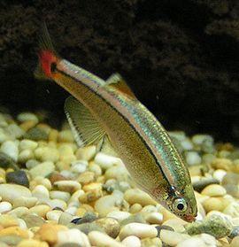 Cina  Danio (Tanichthys albonubes)