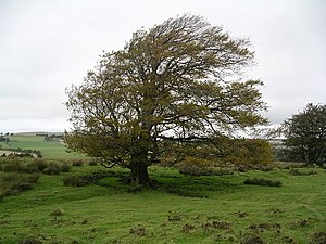 English: Beech Tree, near Cleuch Burn. Looking...