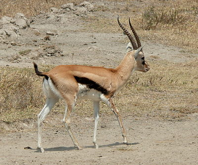 africa tanzania thomsons gazelle eudorcas thomsonii - 400×333