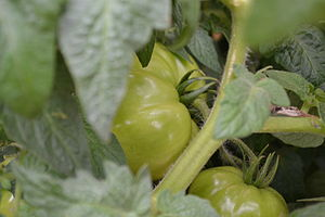 English: Green tomatoes nestled on the vine.