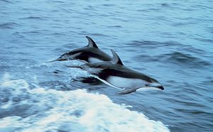 Two Pacific White-sided dolphins (Lagenorhynch...