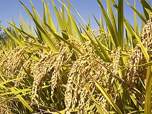 Mature rice panicle against blue sky. Part of ...
