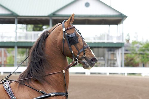 https://i1.wp.com/upload.wikimedia.org/wikipedia/commons/thumb/1/19/Saddlebred_Stallion_in_Harness.jpg/500px-Saddlebred_Stallion_in_Harness.jpg