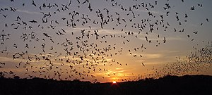 Mexican (or Brazilian) Free-Tailed Bats, Tadar...