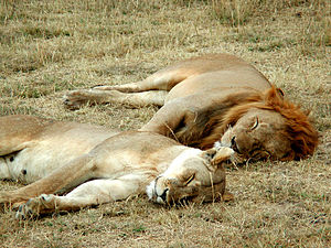 English: A lion and a lioness sleeping in the ...