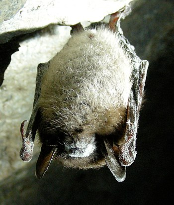 English: Little brown bat with white-nose synd...