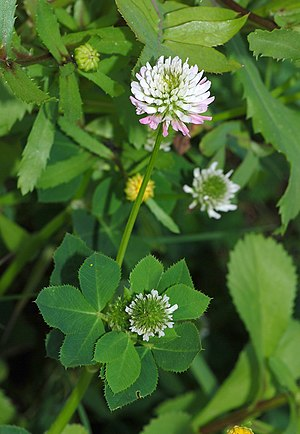English: A White Clover (Trifolium repens). Fr...
